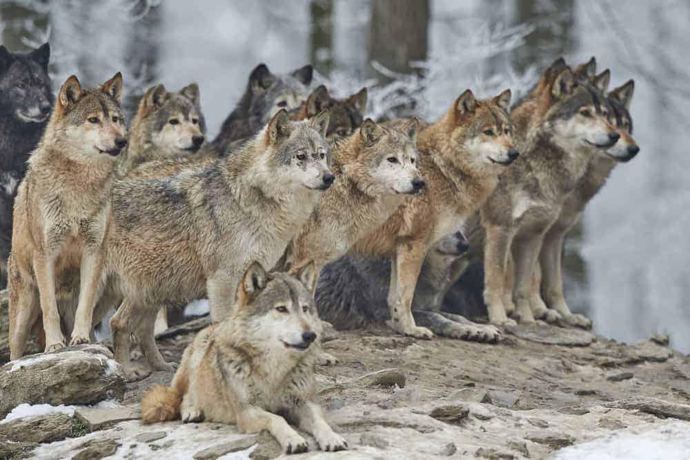 wolf-park-battleground-indiana